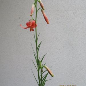 野ヒメユリ開花、ショウジョウバカマの植え替え。