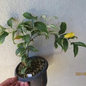 斑入り土佐上臈ホトトギス流泉、初めての開花