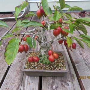 彼岸過ぎてもまだ真夏の暑さです、リンゴの実も傷みます。