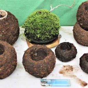 苔玉鉢の作成・今日の苔玉