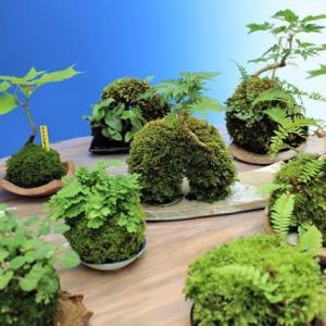 新緑の苔玉