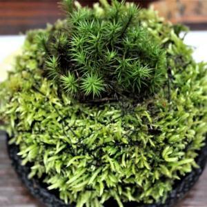 苔玉を作る
