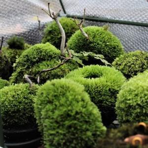 苔玉と盆栽?
