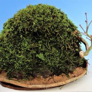 アーチ型苔玉の作成