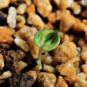 岩ギボウシの実生