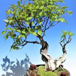 新緑の鉢植え盆栽