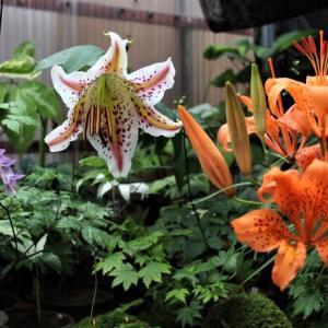 ユリの花の開花
