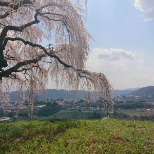 【乙ヶ妻のしだれ桜】超穴場!絶景ひろがる丘の上で心休まるひとときを…