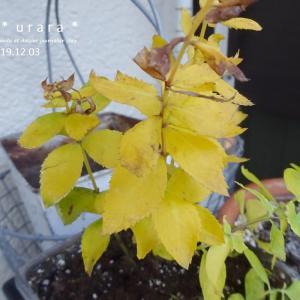 キキョウの黄葉、ヌーヴェルヴァーグ