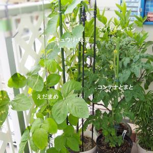ベランダ菜園と種蒔き