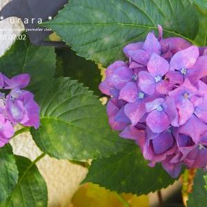 最後の紫陽花とクレマチス
