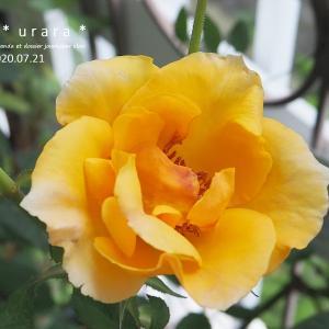 ジュヌヴィエーヴ・オルシ開花とキュウリ収穫