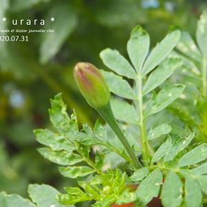 フレンチマリーゴールドのツボミ、パクチー発芽