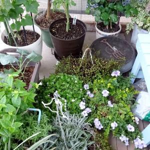 台風対策とブロッコリー植え付け