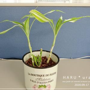 事務所で育てている観葉植物
