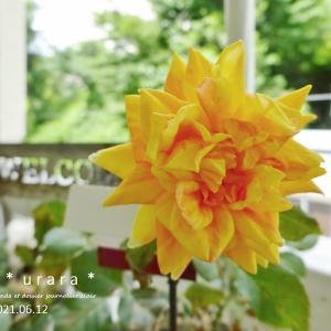 ミニバラ・シンフォニーアイとコレオプシスが咲いた