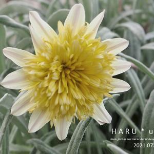 今日のお花と土用の間日