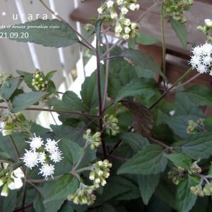 ユーパトリウム・チョコラータとヒューケラの葉