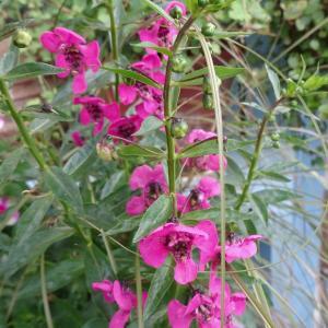マゼンタ色のお花