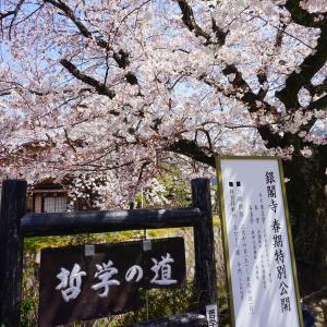 花びら舞う桜道 ~哲学の道~