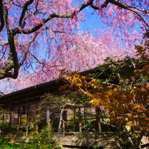 桃色の楽園  ~原谷苑~