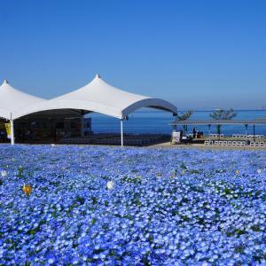 100万株の青い花 ☆彡 大阪まいしま シーサイドパーク
