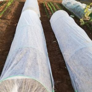 極早生玉葱に不織布トンネル