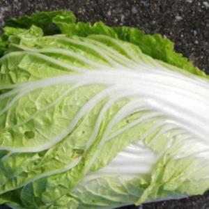 大きいミニ白菜を初収穫