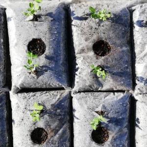 スナップエンドウ袋栽培開始