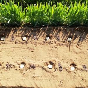 ジャガイモ超浅逆さ植え