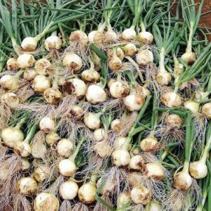 極早生玉葱初収穫