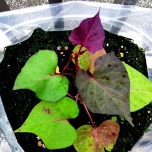 袋栽培1か月の安納芋