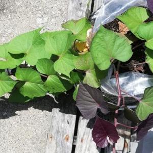 袋栽培安納芋に3本目の蔓