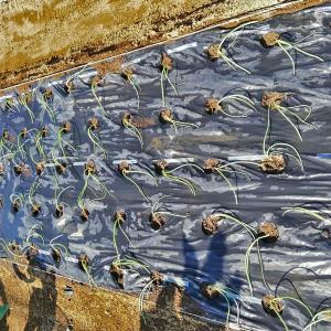 極早生玉葱苗を定植