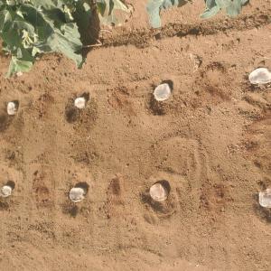 超浅逆さ植えジャガイモ栽培