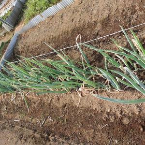 定植後3か月の一本葱