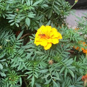 フォトチームより今週の一枚:街中の小さなお花と小さなミツバチ