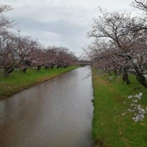 桜 桜 咲きました ・・・ 一人お花見