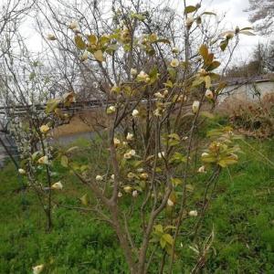 4月の椿 まだまだ咲きます