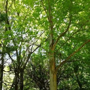 夏椿が咲き始めました 笹百合が草刈り機で飛ばされて ・・・