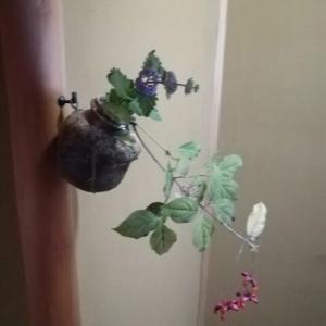 掛花入れに 吊り花と段菊