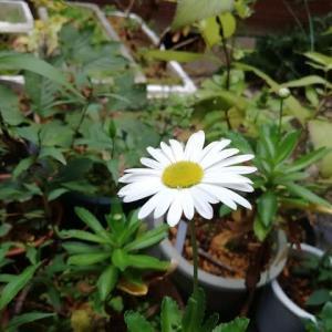 吹上菊 真の花 挿し木のタイミングが大事