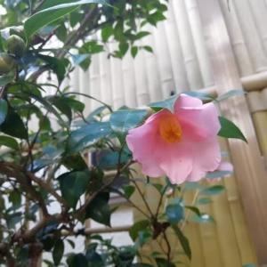 ピンクの椿 浄蓮の春 咲いてました