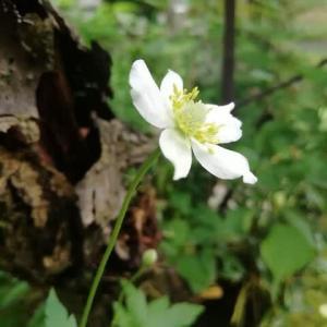 春咲シュウメイギク 姫百合