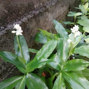 藪ミョウガが咲きました 葉がツヤツヤ