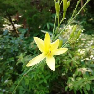 7月に咲く花は ユウスゲ つゆ草