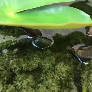 今年初の睡蓮の蕾