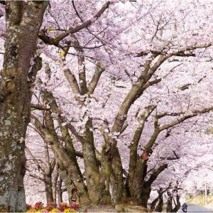 近くに桜の園はあるものだ