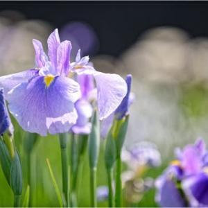 山里のお寺の花菖蒲が割と咲いていたⅡ
