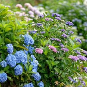 霊場の紫陽花